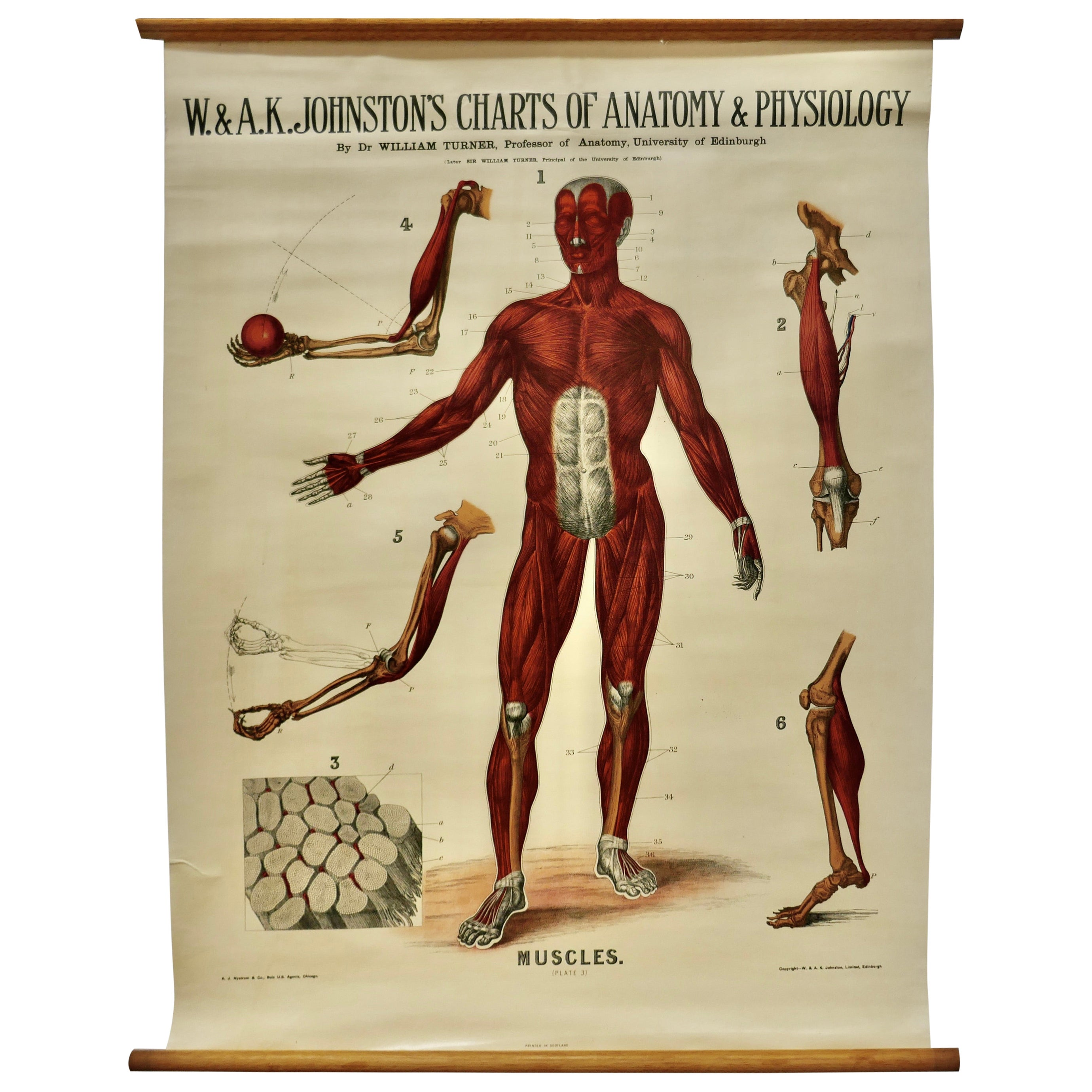 """Large University Anatomical Chart """"Muscles"""" by Turner"""