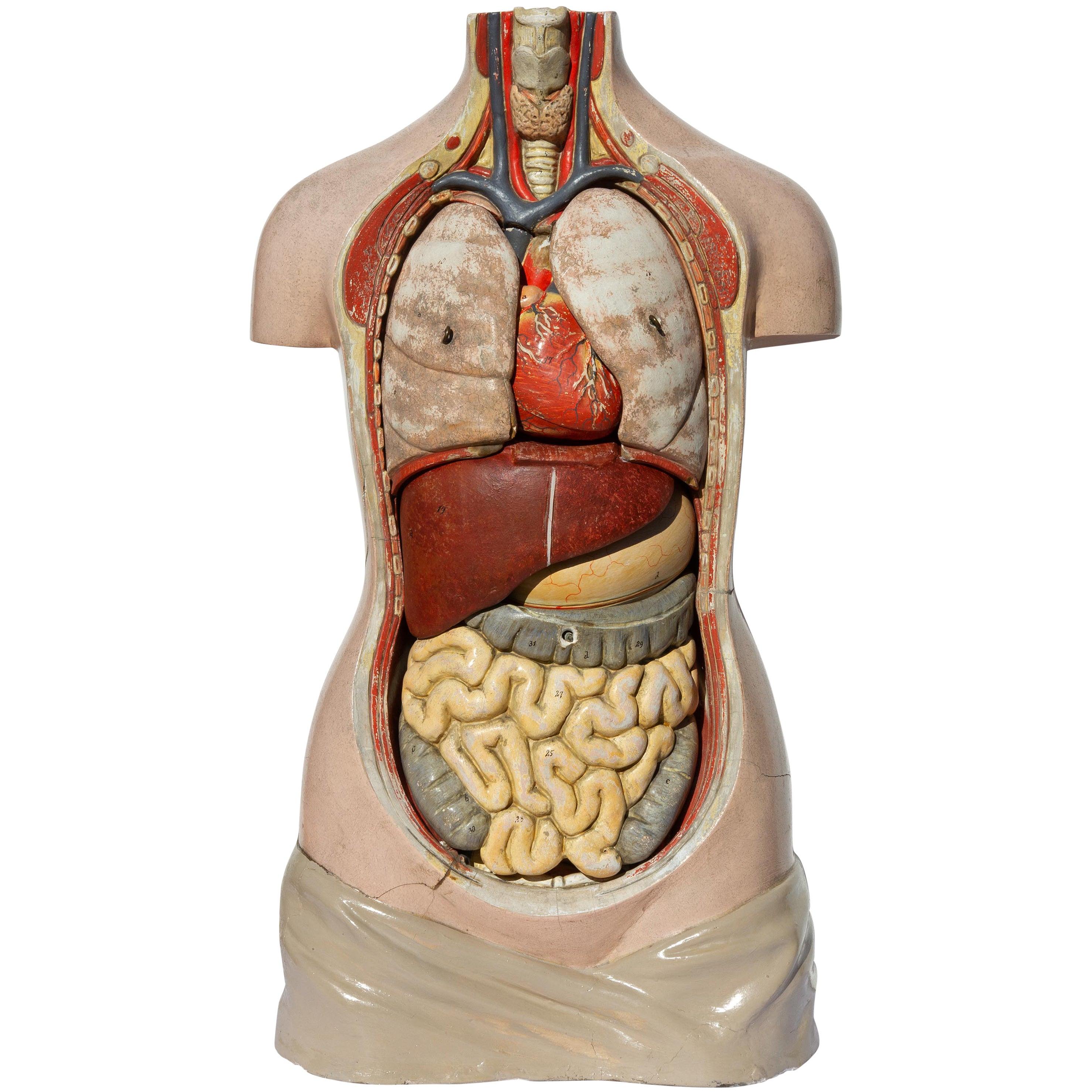 Plaster Educational Human Anatomical Model, German, 1930s