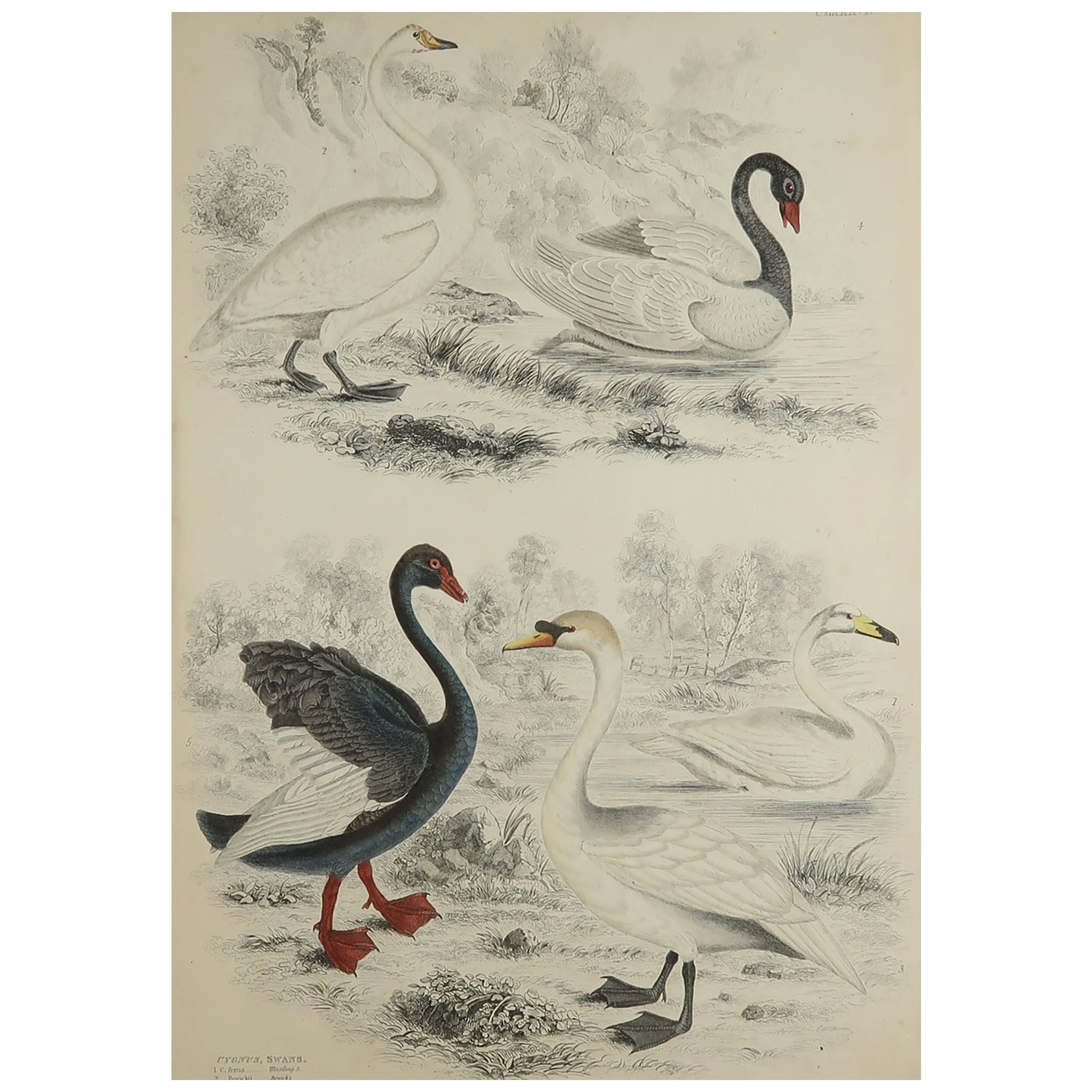 Large Original Antique Natural History Print, Swans, circa 1835