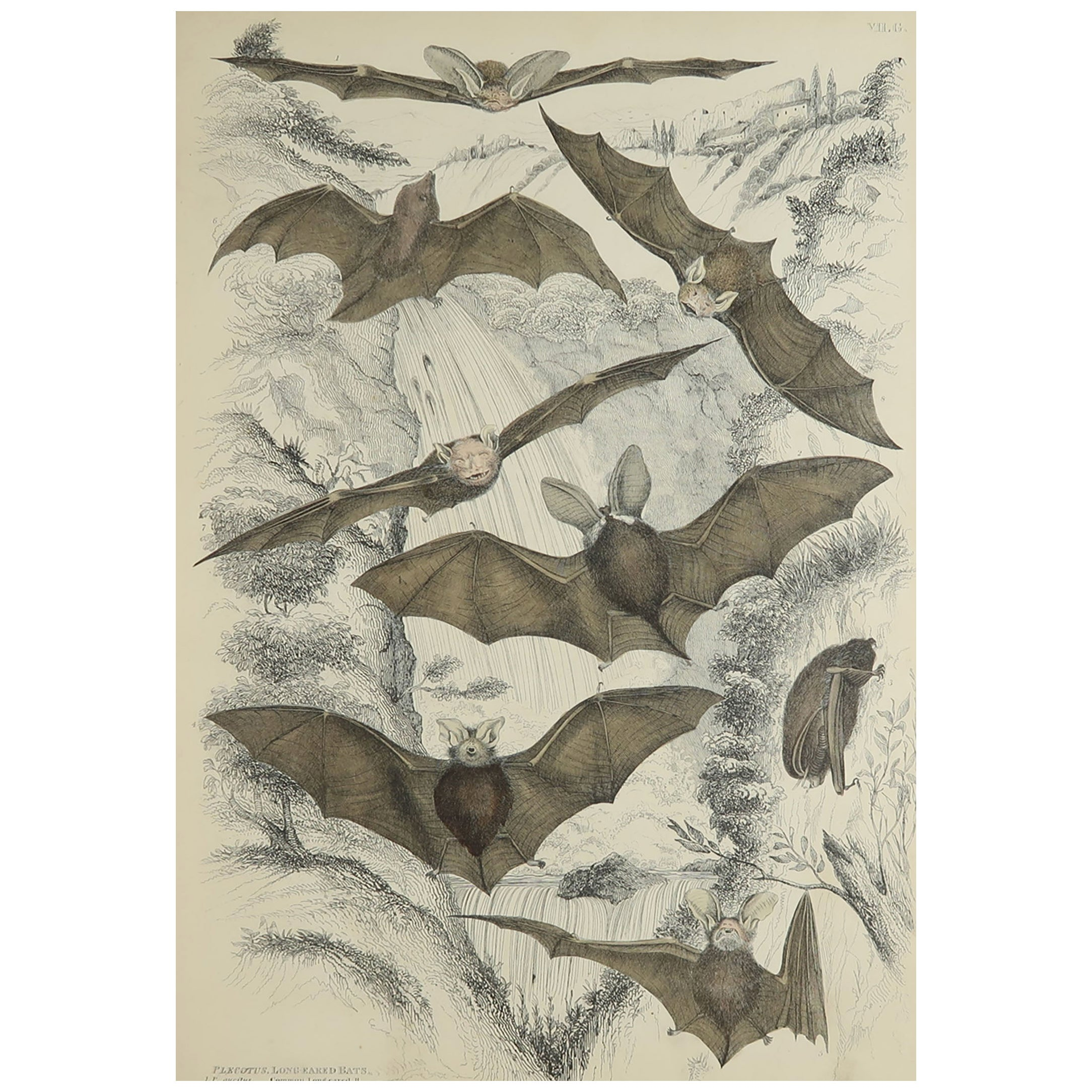 Large Original Antique Natural History Print, Bats, circa 1835