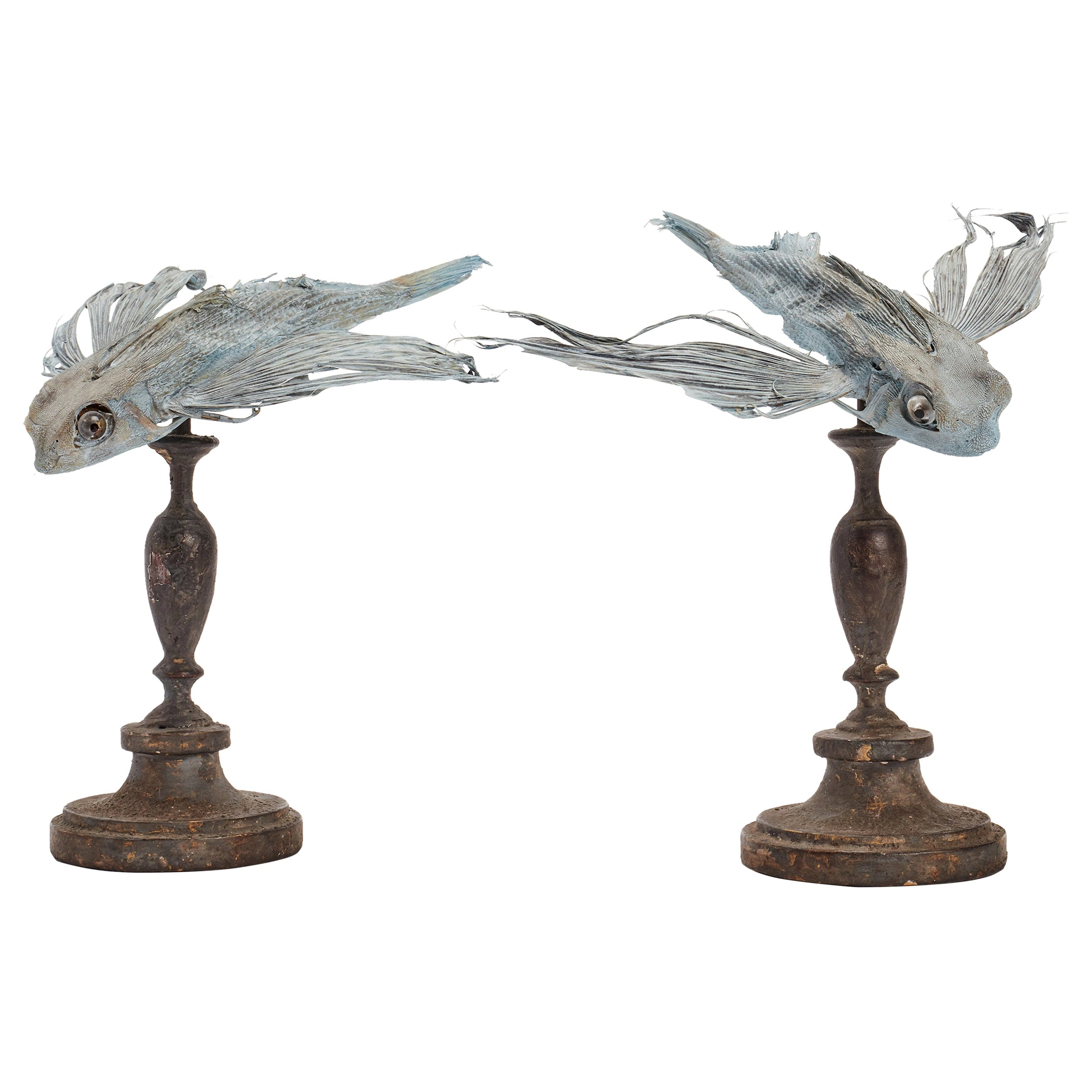Marine Specimen a Taxidermy Flying Fishes, Italy, 1880