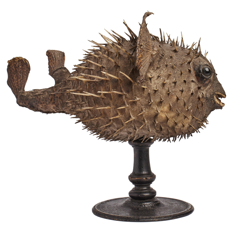 A Marine Specimen A Taxidermy Porcupinefish, Italy, 1880