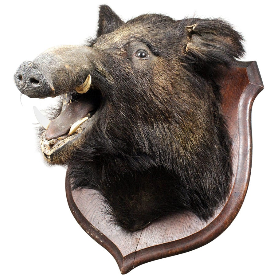 Antique Taxidermy Mounted Boars Head, 20th Century