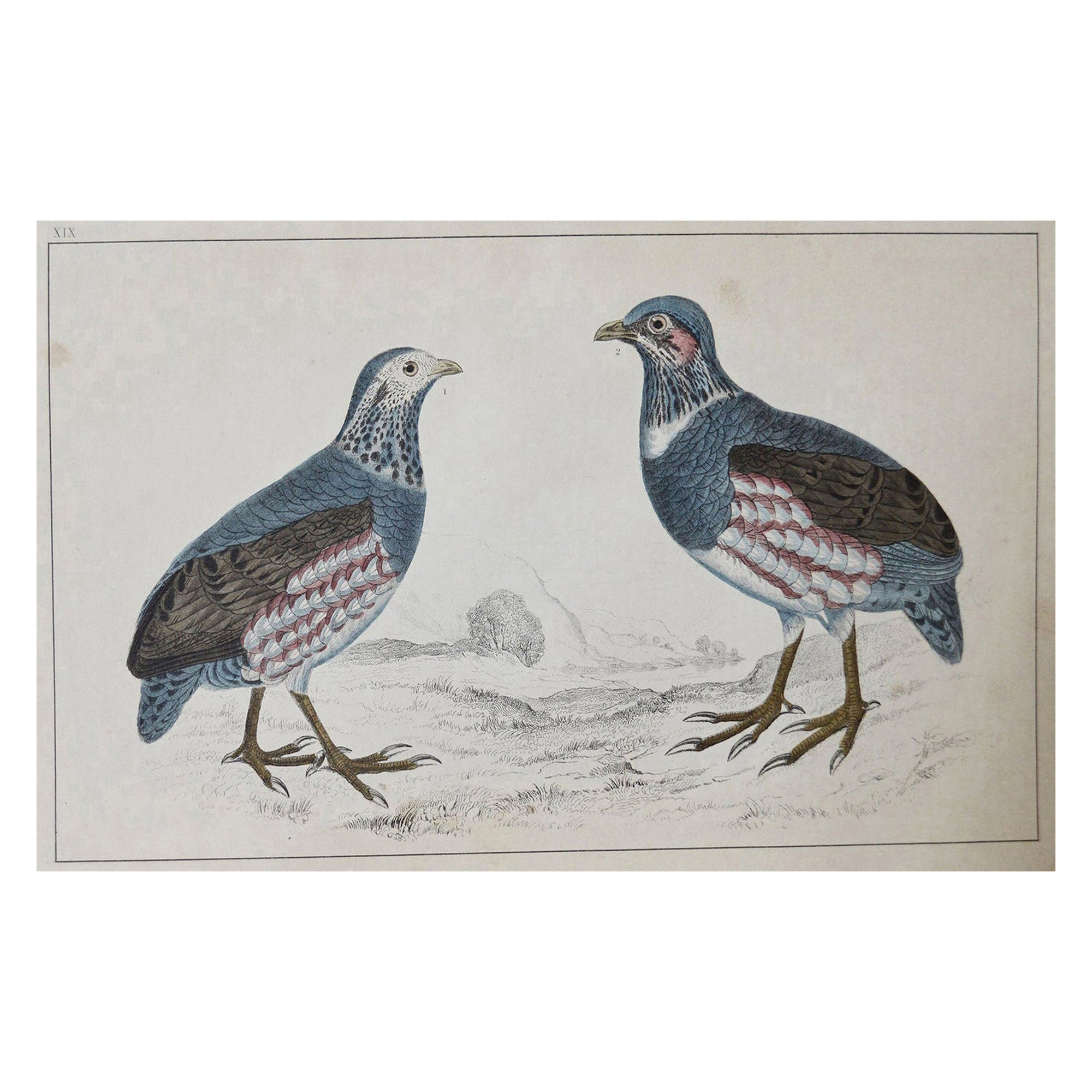 Original Antique Print of Partridge, 1847 'Unframed'