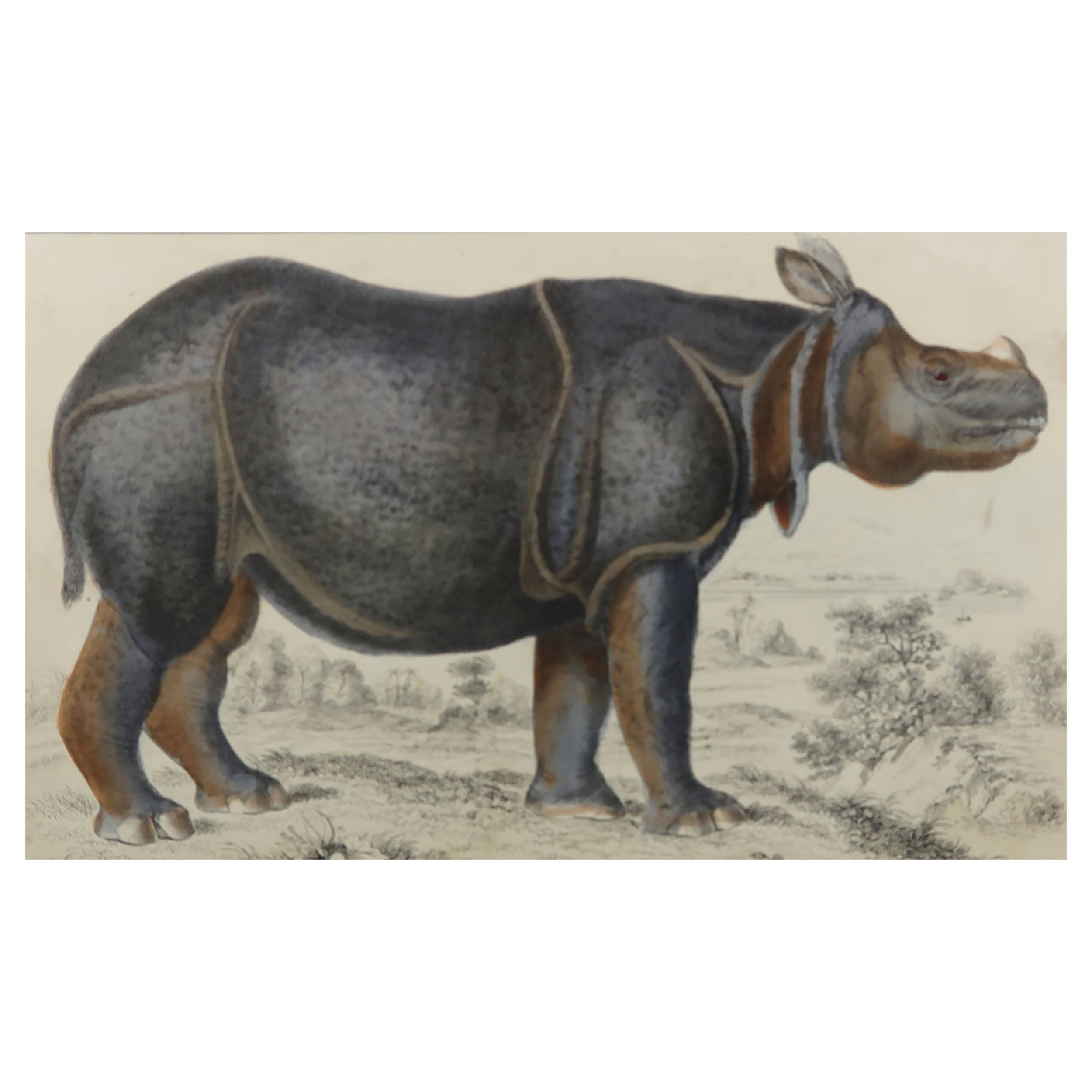 Original Antique Print of a Rhinoceros, 1847 'Unframed'
