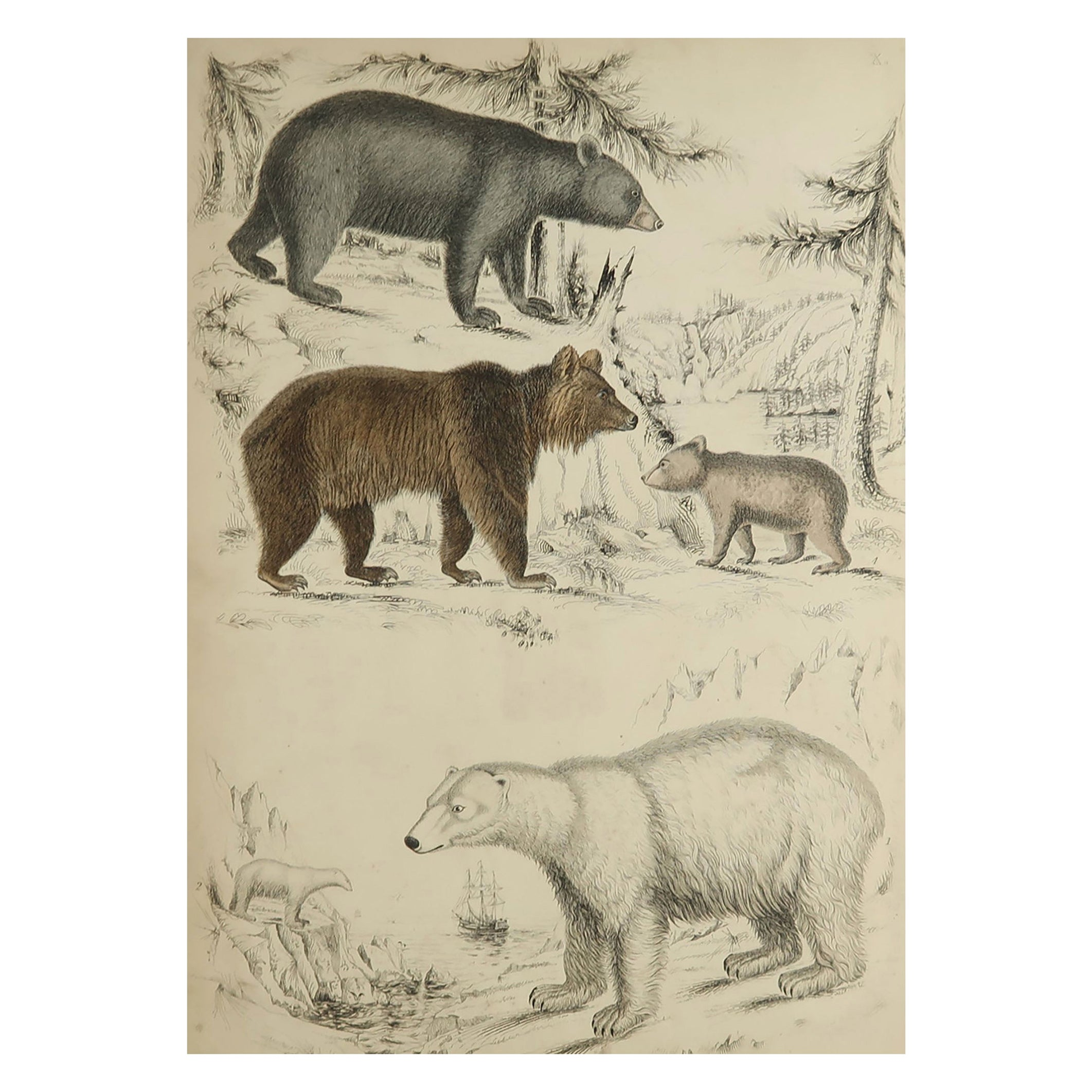 Large Original Antique Natural History Print, Bears, circa 1835