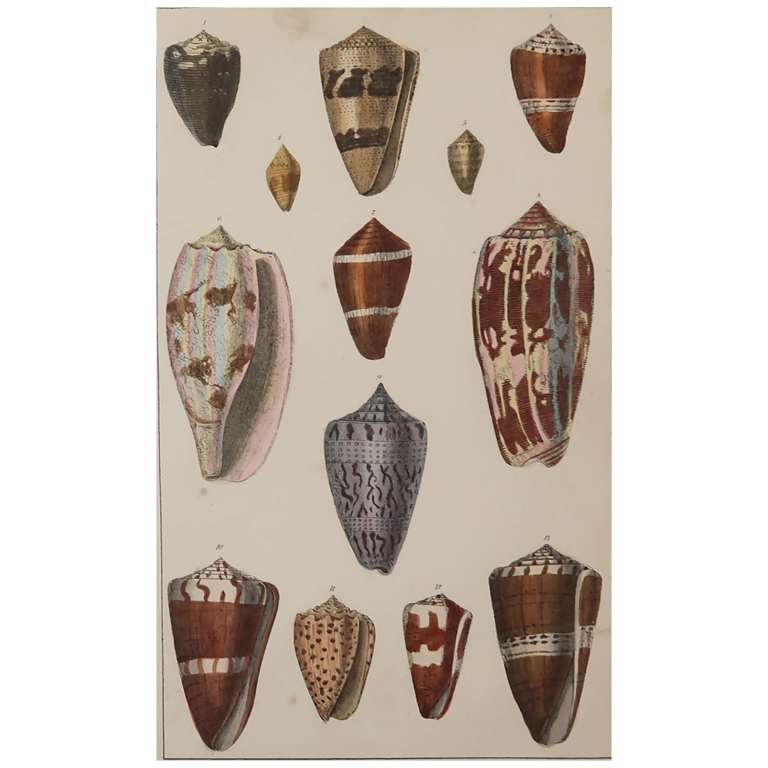 Original Antique Print of Shells, 1847 'Unframed'