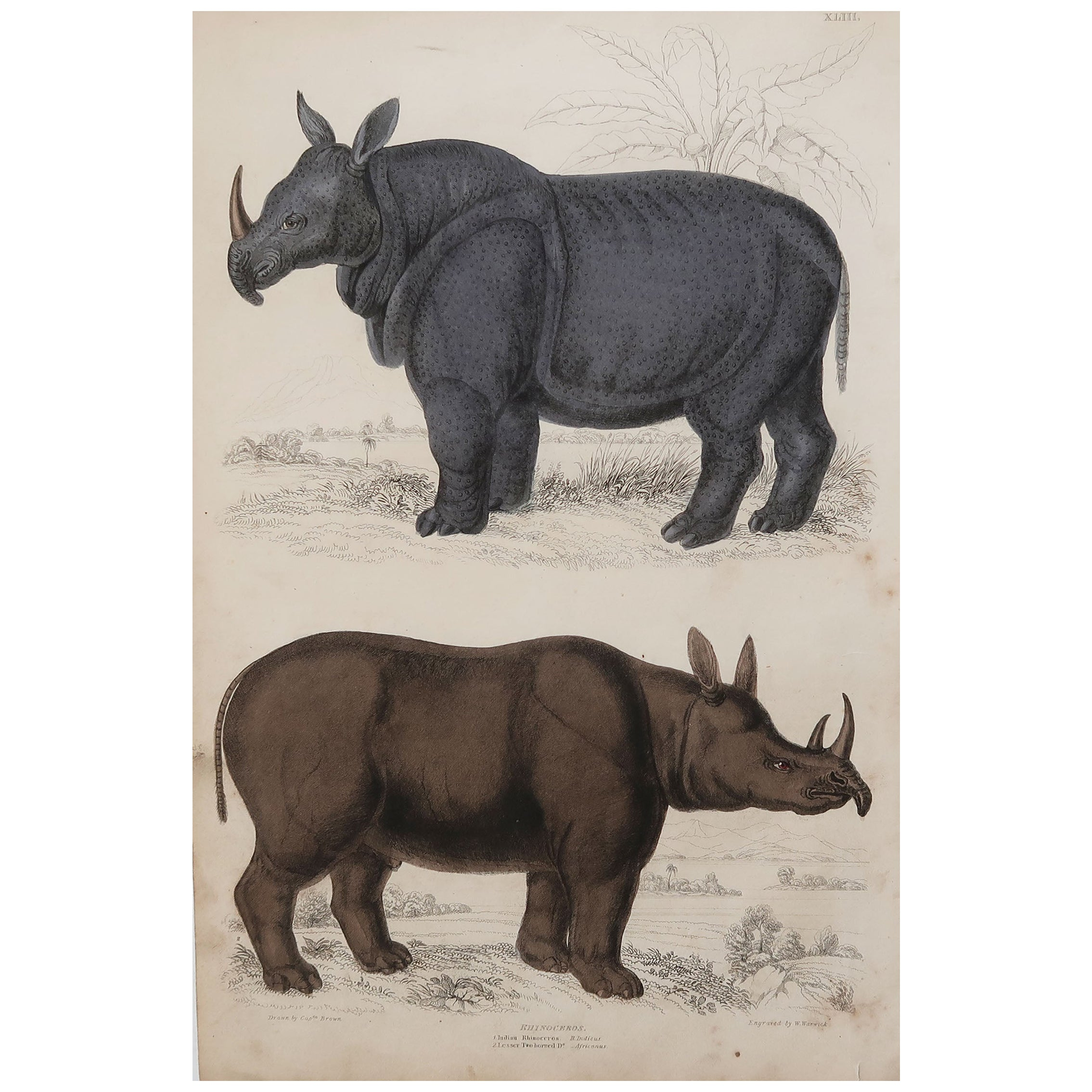 Large Original Antique Natural History Print, Rhinoceros, circa 1835