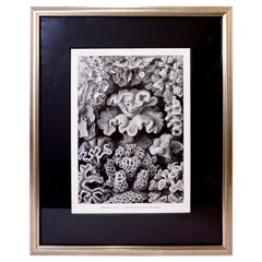 Art Forms of Nature by Ernst Haeckel, Hexacoralla