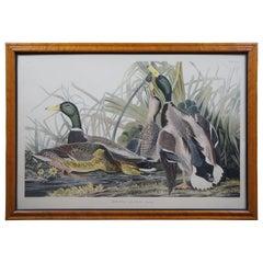 Antique Robert Havell 1836 Mallard Duck Engraving Audubon Realism Framed