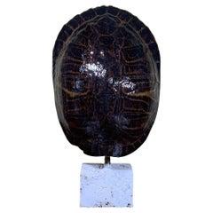 Large Single Genuine American Fresh Water Turtle Shell