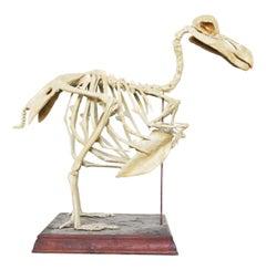 Antique Cast of a Complete Dodo Skeleton