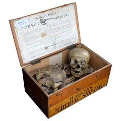 19th Century Half Human Medical Skelton