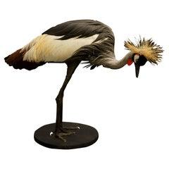 African Crown Crane