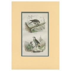 Antique Bird Print of a Sparrowhawk and a Goshawk by Fournier 'c.1835'