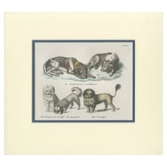 Antique Print of various Dog Breeds by Schinz '1845'
