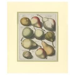 Tab II Antique Print of Various Pears by Knoop '1758'