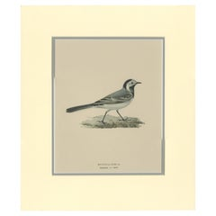 Antique Bird Print of the White Wagtail by Von Wright '1927'