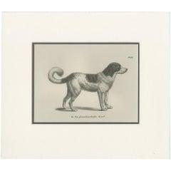 Antique Print of a Newfoundland Dog by Schinz '1845'