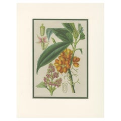 Antique Botany Print of the Aucuba Himalaica by Stroobant, 1859