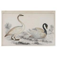 Original Antique Print of Swans, 1847, 'Unframed'