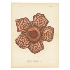 Antique Botany Print of the Rafflesia Hasseltii by Brill, '1884'