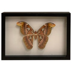 Beautifull Display Case with Giant Atlas Butterfly