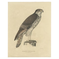 Antique Bird Print of the African Hawk-Eagle by Severeyns, c.1850
