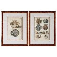 Pair Niccolo Gualtieri Shell Engravings