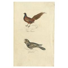 Antique Bird Print of a Male Pheasant and Nightjar by Mudie, 1835