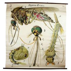 Vintage Early 20th Century Paul Pfurtscheller Zoological Wall Chart, Mosquito