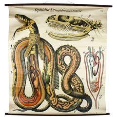 Vintage Early 20th Century Paul Pfurtscheller Zoological Wall Chart, Grass Snake