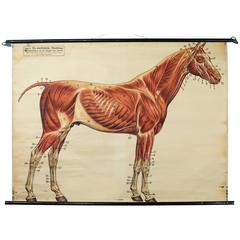 Vintage 19th Century Wall Chart Dr. Richard Klett, Muscles of a Horse