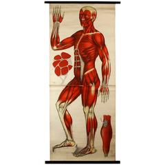 Antique Anatomical Wall Chart, circa 1900, Fiedler & Hoelemann, Muscular System