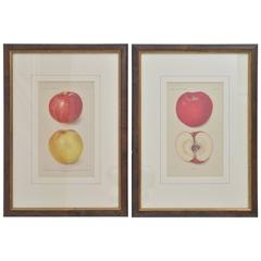 Eight Antique Apple Prints from US Dept of Agriculture, Early 20th Century