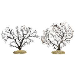 Pair of Beautiful Wunderkammer Natural Specimen, Big Horny Coral Branches