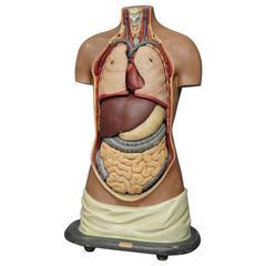 Antique 3D Anatomical Torso Made by Somo, circa 1930