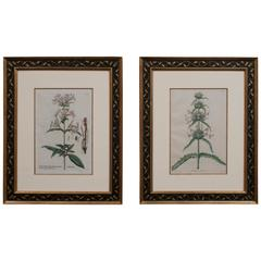 Pair of Hand-Colored Botanical Engravings of Lilies