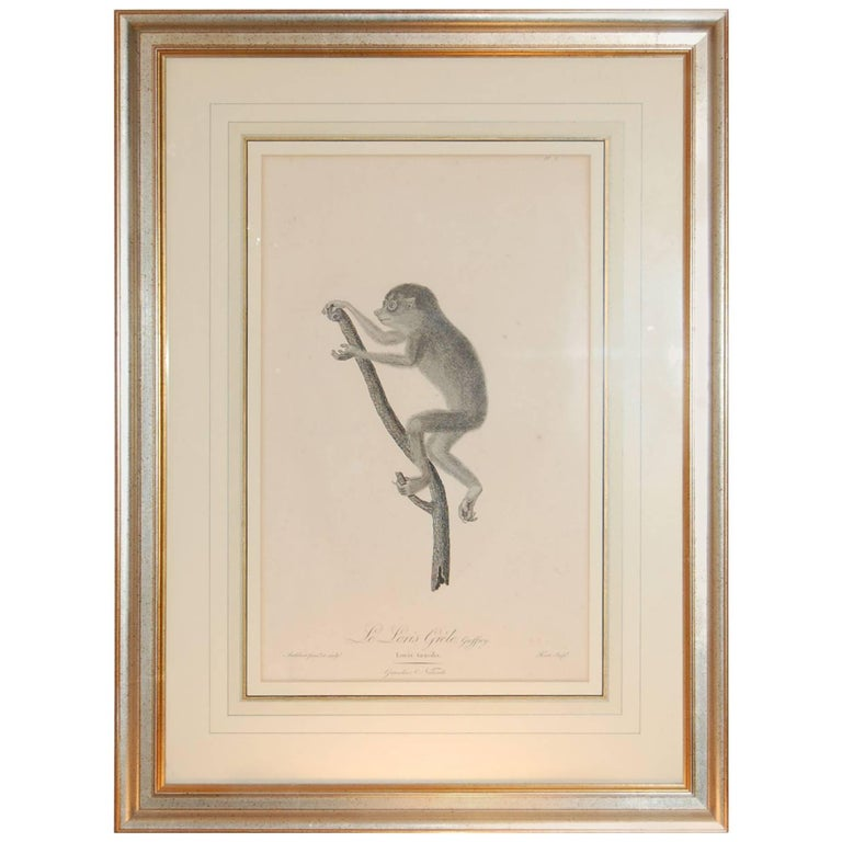 "Framed Late 18th/ 19th Century Print ""Le Loris Grele"" by Jean Baptiste Audebert For Sale"