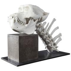 20th Century Biscuit Porcelain Gorilla Skeleton by James Webster