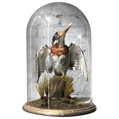 Striking Late Victorian Dome Cased Taxidermy Giant African Kingfisher circa 1890