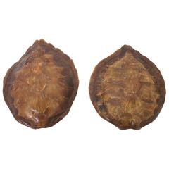 Rare Pair of Vintage Turtle Shell Sconces