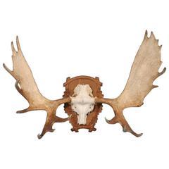 Large Vintage Moose Antlers Mounted on a Carved Oak Shield