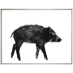 Large photography on Baryta Paper by Gabriele Rothemann Wild Boar 1985-1992
