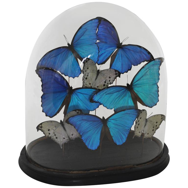 19th Century Glass Dome on Original Ebonized Base with Blue & White Butterflies 1