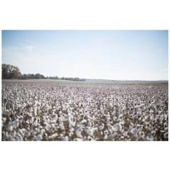 "Large Format, Framed Rinne Allen Photograph ""Field of Cotton"""
