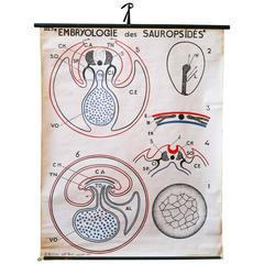 Vintage French Embryo Teaching Chart by Dr. Auzoux