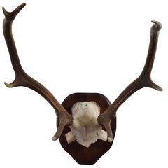 Partial Skull Mount of Deer Antlers on Walnut Backplate