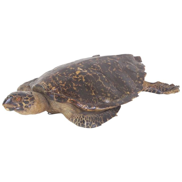 Large Hawksbill Turtle Taxidermy For Sale