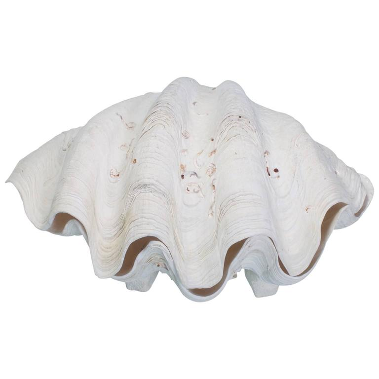Pair of Gigas Clam Shells on Feet